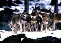 """La """"civile"""" Norvegia fa strage di lupi"""