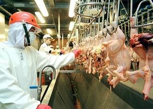 l'industria del pollo