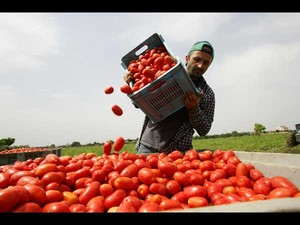 Fabrizio Gatti scarica pomodori