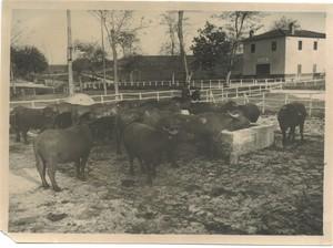 Tenuta di Tor Mancina, 1944. Bufali all'interno della tenuta.
