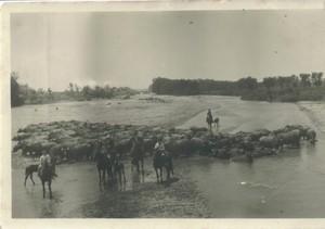 Tenuta di Tor Mancina, 1944. Bufali all'abbeverata sul Tevere.